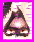 punta nariz rosa